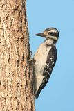 Juvenile Hairy Woodpecker (Picoides villosus). On a feeder with a blue background stock photo