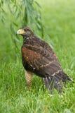 Juvenile Harris Hawk stock photography