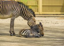 Juvenile hartmanns mountain zebra together with its mother, Vulnerable animal specie from Angola and Namibia in Africa. A juvenile hartmanns mountain zebra stock photos