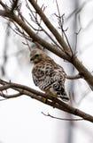 Juvenile hawk. Baby Hawk waiting for prey Stock Photography