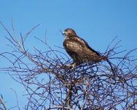 Juvenile Hawk Stock Image
