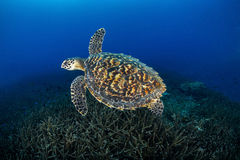Juvenile Hawkbill turtle swimming with more staghorn coral . Los royalty free stock photo