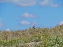 A juvenile heron Royalty Free Stock Images