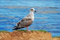 A Juvenile Herring Gull Royalty Free Stock Photos