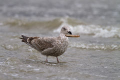 Juvenile herring gull Stock Photos