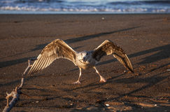 Juvenile Herring Gull Aggressive Feeding Stock Photos