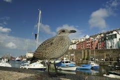 Juvenile Herring Gull. By Brixham Harbour, Devon - Larus argentatus Stock Images