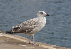Juvenile Herring Gull Stock Image