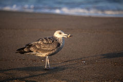 Juvenile Herring Gull Eating Stock Photos
