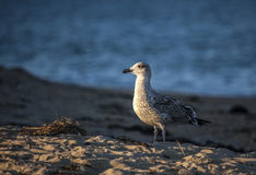 Juvenile Herring Gull Facing Sun Royalty Free Stock Photos