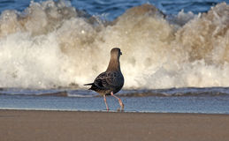 Juvenile Herring Gull Facing Surf Stock Photo