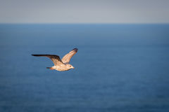Juvenile Herring Gull in Flight Stock Image
