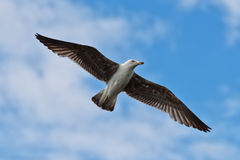 Juvenile Herring Gull in Flight Stock Images