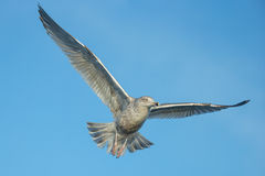 Juvenile Herring Gull in flight. Stock Photo