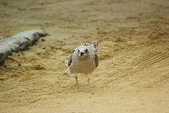 Juvenile Herring Gull From Front. A juvenile European Herring Gull (Larus argentatus) walking on a beach towards the camera Royalty Free Stock Photography