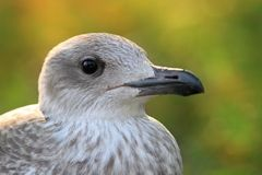 Juvenile herring gull head Royalty Free Stock Photography