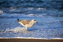 Juvenile Herring Gull Hunting For Food Stock Images