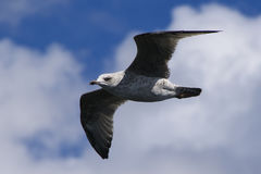 Juvenile Herring Gull, Larus argentatus, flying Stock Photos