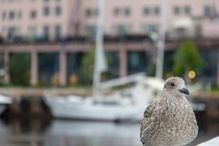 Juvenile herring gull Larus argentatus. Found on the promenade in Aker Brygge neighborhood of Oslo, Norway. In the blurred background is a sailboat Royalty Free Stock Photo
