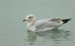 A juvenile Herring Gull Larus argentatus swimming in the sea hunting for food. A pretty young Herring Gull Larus argentatus swimming in the sea hunting for food Stock Images