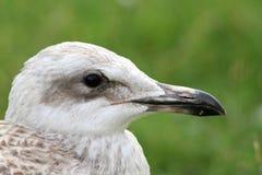 Juvenile herring gull portrait Stock Photo