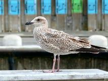 Juvenile herring gull sea gull Stock Photo