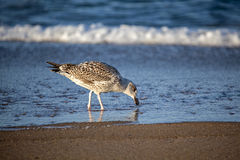Juvenile Herring Gull Shore Feeding Royalty Free Stock Photo