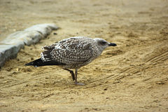 Juvenile Herring Gull From Side. A juvenile European Herring Gull (Larus argentatus) on a beach, side view Stock Photography