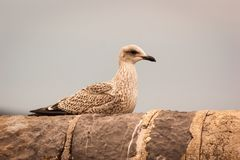 Juvenile Herring Gull on Wall. Juvenile Herring Gull Larus argentatus sitting atop a stone wall Royalty Free Stock Photo
