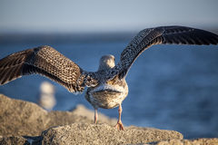 Juvenile Herring Gull Wings Open Rear View Stock Photo