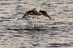 Juvenile herring gull & x28;Larus argentatus& x29; taking flight Stock Photography