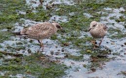 Juvenile Herring Gulls feeding on seashore Royalty Free Stock Photography