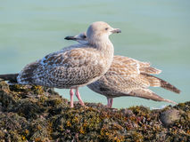 Juvenile Herring Gulls On Rocks Of The Jersey Island Royalty Free Stock Image