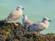 Juvenile herring gulls on rocks of the Jersey Island Royalty Free Stock Image