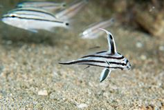 Juvenile High Hat Fish swimming over sand. Royalty Free Stock Photography