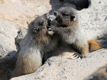 Juvenile Hoary Marmots Wrestling. At Mount Rainier National Park Stock Photo