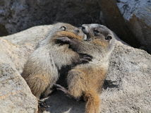 Juvenile Hoary Marmots Wrestling Royalty Free Stock Photos