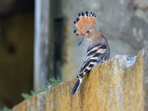 Juvenile Hoopoe young bird short after leaving the nest royalty free stock photo