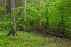 Juvenile Hornbeam tree and broken spruce Stock Image
