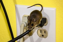 Side view of a brown house mouse running down a wire on an electrical outlet. A juvenile house mouse Running down a wire ona  four prong electrical outlet.  The Stock Photography