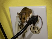 Aerial top view of a brown house mouse straddling two wires in an electrical outlet. A juvenile house mouse sitting in the middle of a four prong electrical Royalty Free Stock Photography
