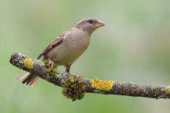 Juvenile House Sparrow (Passer domesticus). Juvenile House Sparrow (Passer domesticus) on a twig Royalty Free Stock Photos