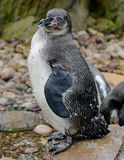 Juvenile Humboldt Penguin royalty free stock photography