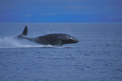 Juvenile Humpback Whale Stock Images