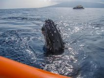 Young Humpback Whale Visits Raft at Sea. Juvenile Humpback Whale Spy Hops Above Ocean to Look at People in Raft Royalty Free Stock Image