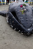 Juvenile Humpback whale washes ashore and died. In White Rock BC Canada, June 12, 2012 Royalty Free Stock Image