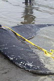 Juvenile Humpback whale washes ashore and died. In White Rock BC Canada, June 12, 2012 Stock Photography