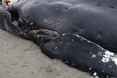 Juvenile Humpback whale washes ashore and died Stock Image