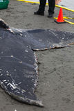 Juvenile Humpback whale washes ashore and died Stock Photography
