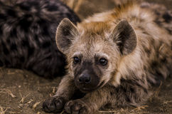 Juvenile hyena Stock Image